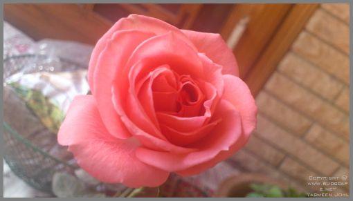 rose-blooms-03