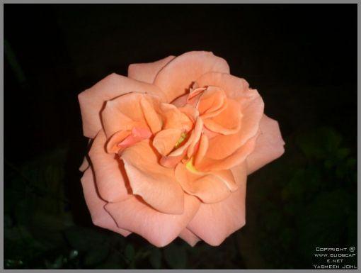 rose-blooms-04
