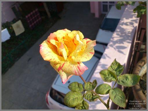 rose-blooms-05