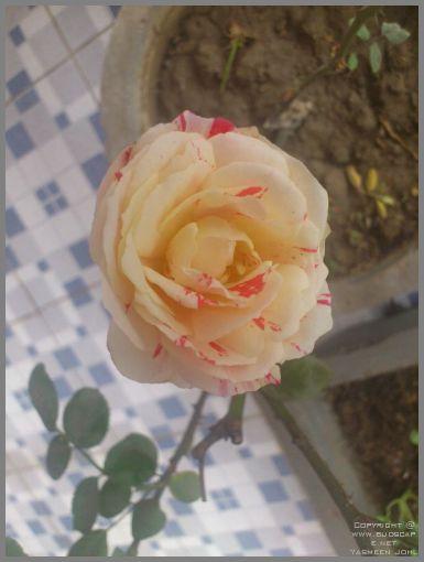 rose-blooms-06