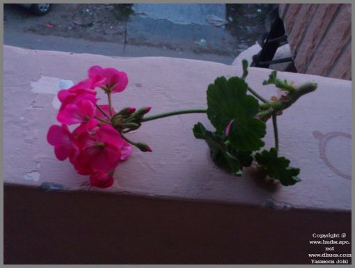 growing-geraniums-in-water-from-leaf-cuttings-1