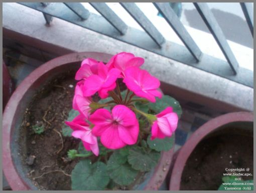 growing-geraniums-in-water-from-leaf-cuttings1