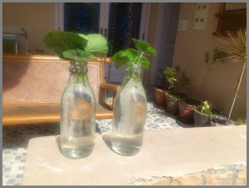 rooting-geraniums-in-water-from-leaf-cuttings-1