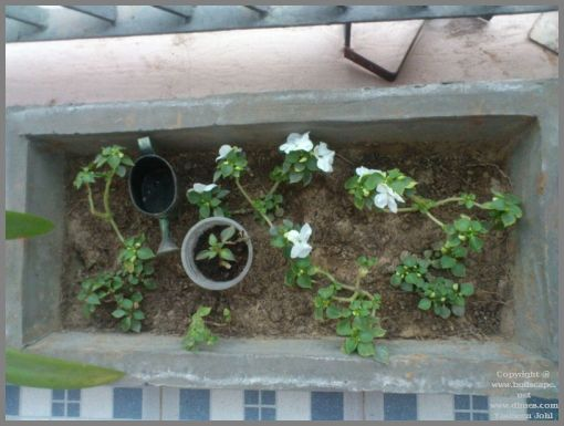 white-impatiens-from-cuttings