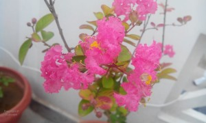 LAGERSTROEMIA CREPE MYRTLE PINK IN PLANTER