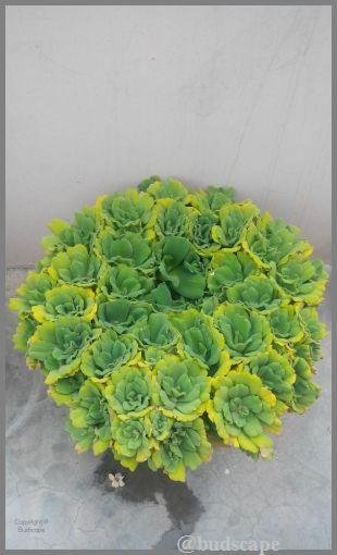 pistia-water-plant