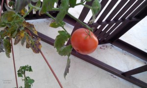 GROW TOMATOES IN HANGING BASKETS