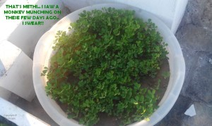 GROWING METHI IN CONTAINER