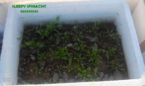 GROWING SPINACH IN CONTAINER