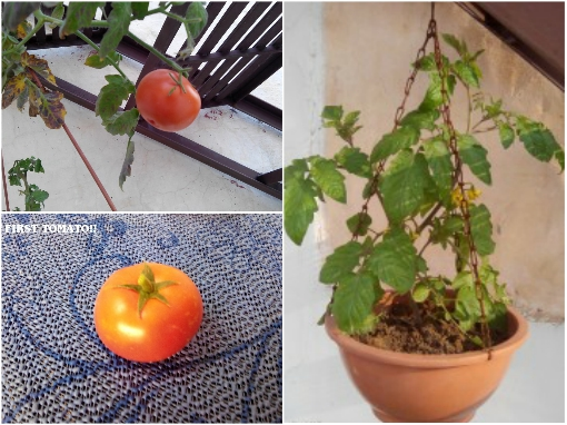 growing-tomatoes-in-hanging-baskets