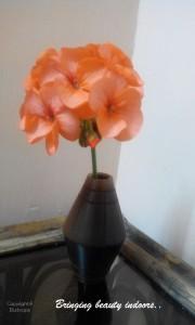 Geranium cut flowers