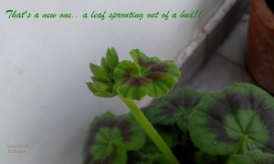 Geranium leaf sprouting out of bud