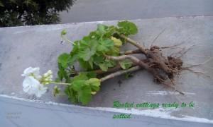Geranium rooting cuttings