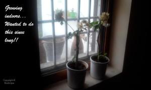 White geranium growing indoors