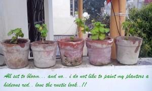 geranium plants in terracotta pots