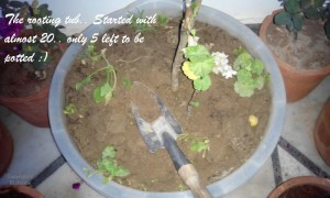 propagating geraniums from cuttings
