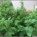 HOW TO PROPAGATE MINT (PUDINA) – GROWTH AND BENEFITS