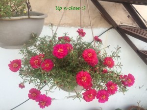 PINK PORTULACAS IN HANGING BASKET
