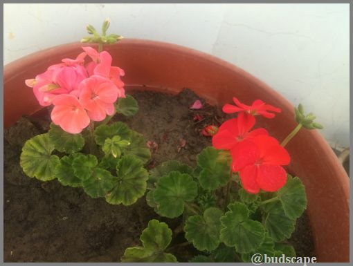 RED AND PINK GERANIUMS IN POT