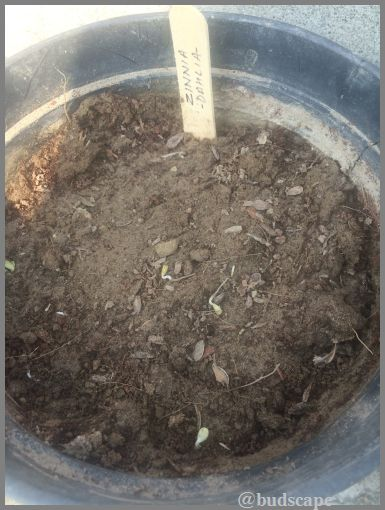 ZINNIA SEEDS GERMINATION