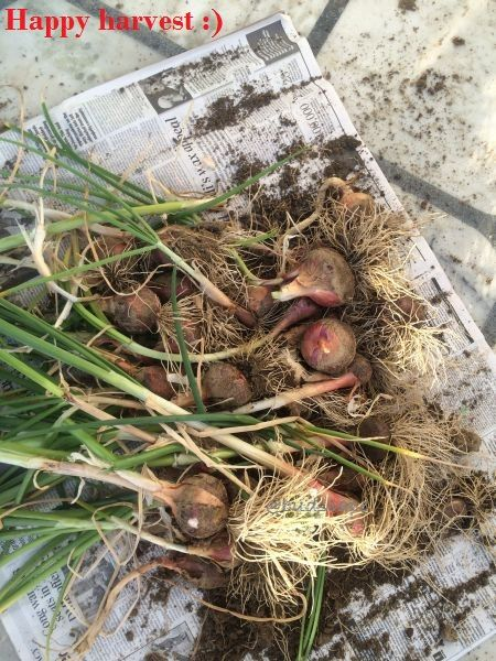 Growing onions in a tub on the terrace..