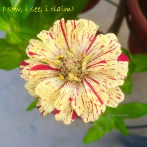ZINNIA PEPPERMINT FROM SEED