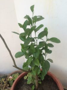 GROWING LEMON PLANT IN POT TERRACE GARDEN