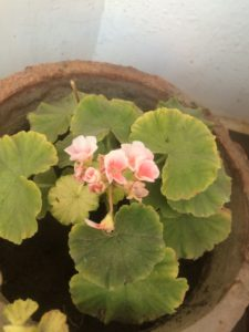 GERANIUM BLOOMING IN SUMMERS