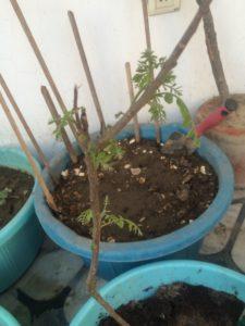 GROWING CURRY PATTA IN POT TERRACE GARDEN