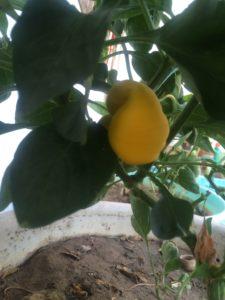 GROWING YELLOW CAPSICUM BELL PEPPER IN POT ON TERRACE