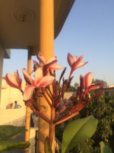 RED PLUMERIA IN POT ON TERRACE