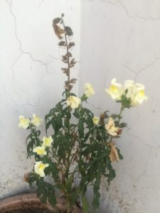 DOG FLOWER BLOOMING IN SUMMERS
