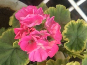 GERANIUM BLOOMING IN SUMMERS INDIA