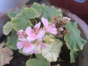 GERANIUMS IN SUMMERS
