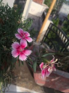 DIANTHUS BLOOMING IN SUMMER