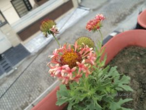 GAILLARDIA ANNUAL SUMMER FLOWER