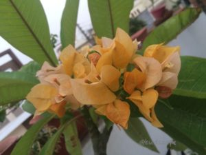 GOLDEN YELLOW ORANGE BOUGAINVILLEA
