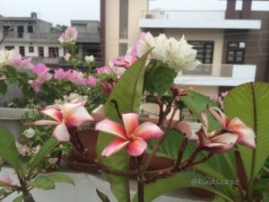 WHITE RED PLUMERIA FRANGIPANI 1 BICOLORED DOUBLE COLORED WHITE PINK BOUGAINVILLEA