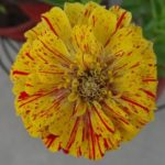 ZINNIA PEPPERMINT FROM SEED – STRIPED ZINNIA