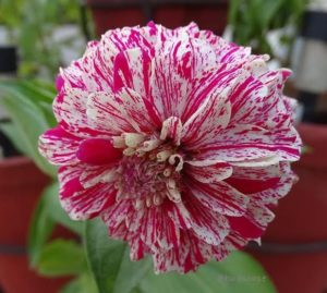 STRIPED ZINNIA PEPPERMINT FROM SEED