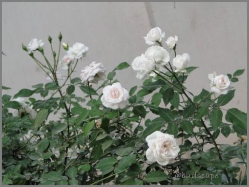 BONE MEAL APPLICATION ROSES