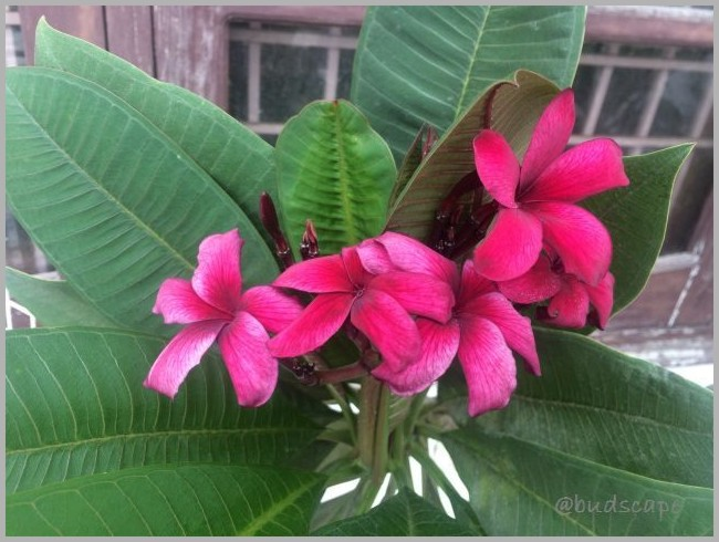 GARDEN BLOG INDIA MONSOON FLOWERS PLUMERIA RED DARK 07