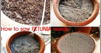 HOW TO SOW PETUNIA SEEDS – By Shehzad Ahmed