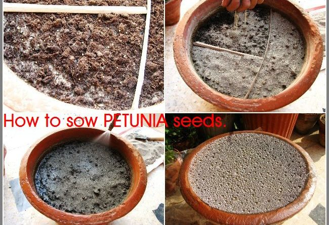 HOW TO SOW PETUNIA SEEDS
