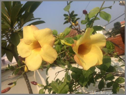 yellow-alamanda-creeper