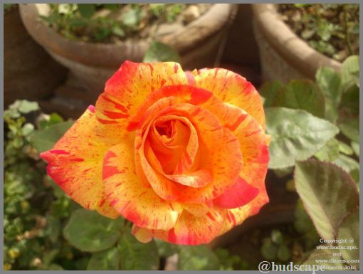 striped-flowers-03-striped-rose