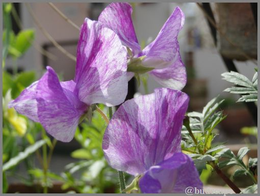 striped-flowers-08-striped-sweet-pea