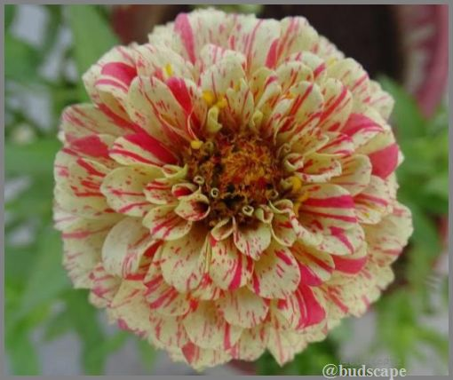 striped-flowers-16-striped-zinnia-peppermint
