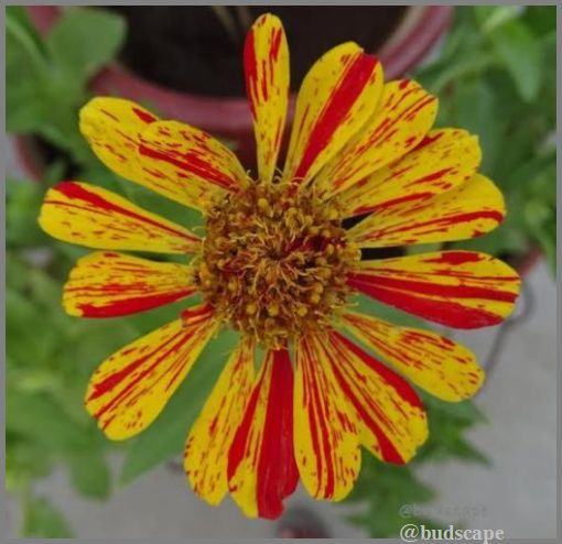 striped-flowers-19-striped-zinnia-peppermint