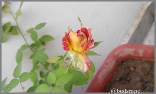 striped-roses-01